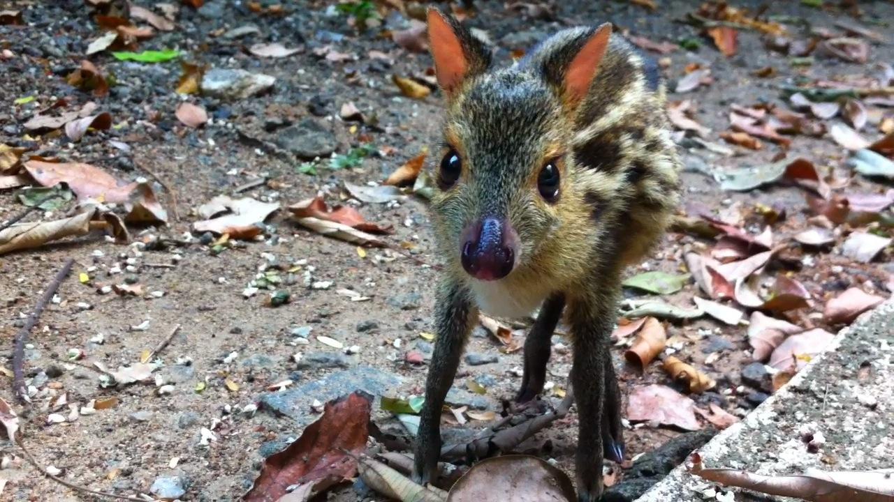 baby mouse deer simonandfinn